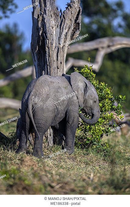 African Elephant baby feeding on bushes in OL Pejeta, Laikipia