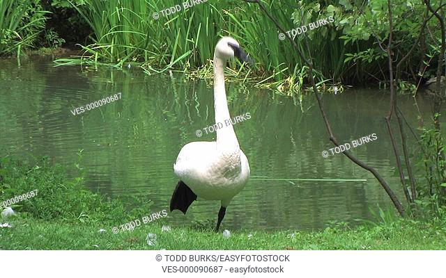 Trumpeter Swan displays its ability to balance on one leg