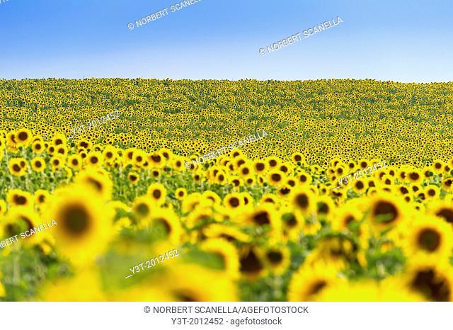 Europe, France, Alpes-de-Haute-Provence, 04, Regional Natural Park of Verdon, Valensole. Field of sunflowers