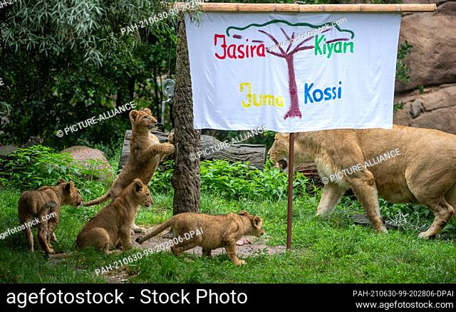 30 June 2021, Saxony, Leipzig: The lion cubs at Leipzig Zoo curiously roam their enclosure in the lion savannah with mother lion Kigali around a sheet with...