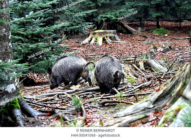 Pigs, beech mast, beech forest, real pigs, cloven-hoofed animals, sow, making a mess, making a mess in winter, black smock, black game, pig, pigs, Suckel