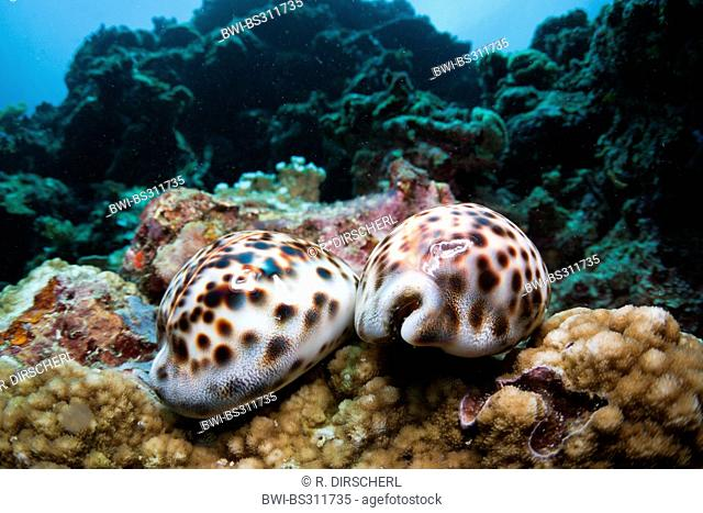 tiger cowrie (Cypraea tigris), two living Tiger Cowries, Indonesia, Western New Guinea, Cenderawasih Bay