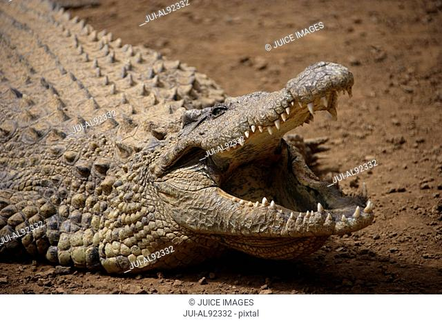 Close up of crocodile with mouth open