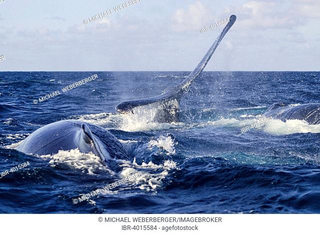 Humpback Whale (Megaptera novaeangliae), fluke, Silverbanks, Dominican Republic