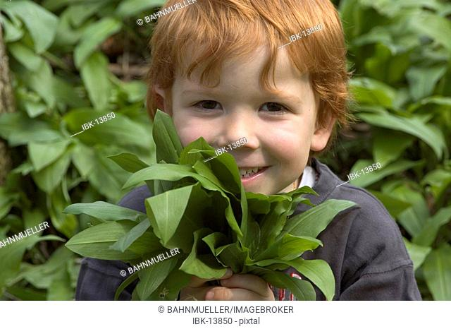 Boy is picking ramson allium ursinum bear's garlic wood garlic