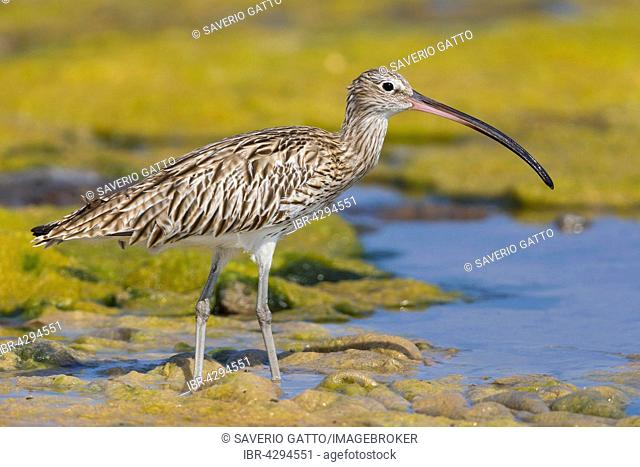 Eurasian Curlew (Numenius arquata), standing in a swamp, Qurayyat, Muscat Governorate, Oman