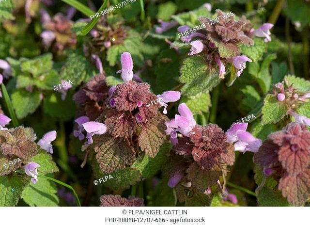 Red dead-nettle, Lamium purpureum, flowering plants, Berkshire, England, April