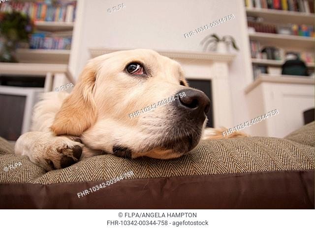 Domestic Dog, Golden Retriever, puppy, close-up of head, resting on cushion, England