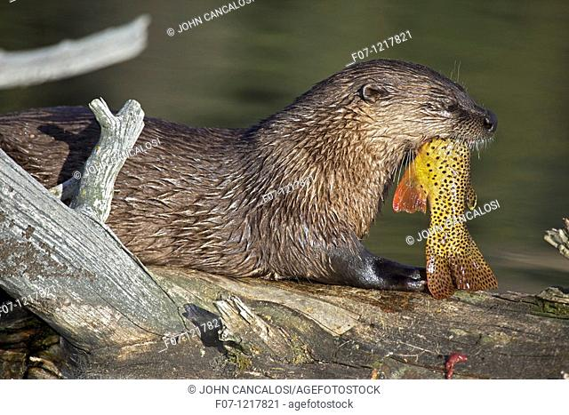 River otter -Lutra canadensis - Wyoming - eating cutthroat trout