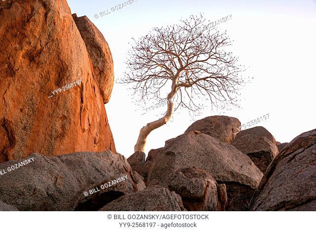 Lone tree in Damaraland's rocky landscape - Damaraland, Namibia, Africa