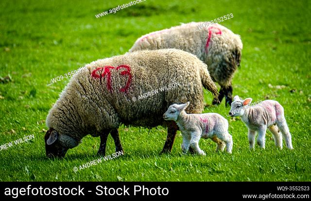 New born lambs with their mum on a farm in the Scottish borders