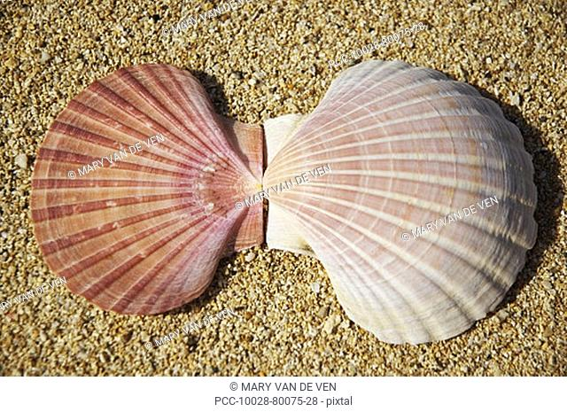 Two halves of pink scallop shell opened up on beach