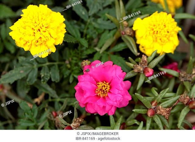 Flowers of Moss-rose Purslane or Moss-rose (Portulaca grandiflora) and Marygold (Tagetes spec.)
