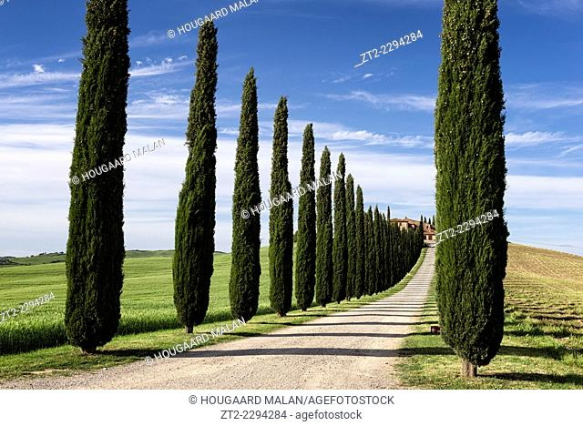 Landscape photo of a driveway lined with Cypress trees leading to a Tuscan villa. Val D'Orcia, Tuscany, Italy