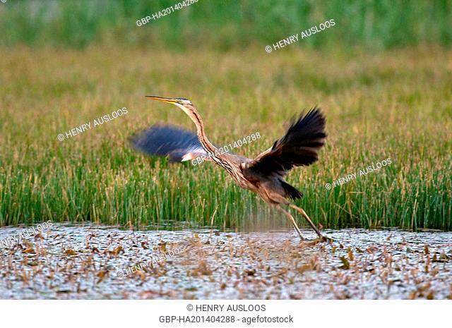 Purple Heron, Ardea purpurea, flying, 31/05/2009