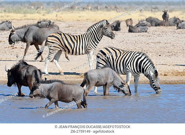 Blue wildebeests (Connochaetes taurinus) and Burchell's zebras (Equus quagga burchellii) drinking in a waterhole, Etosha National Park, Namibia, Africa