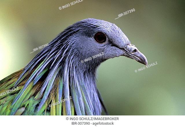 Dove, Caloenas nicobarica