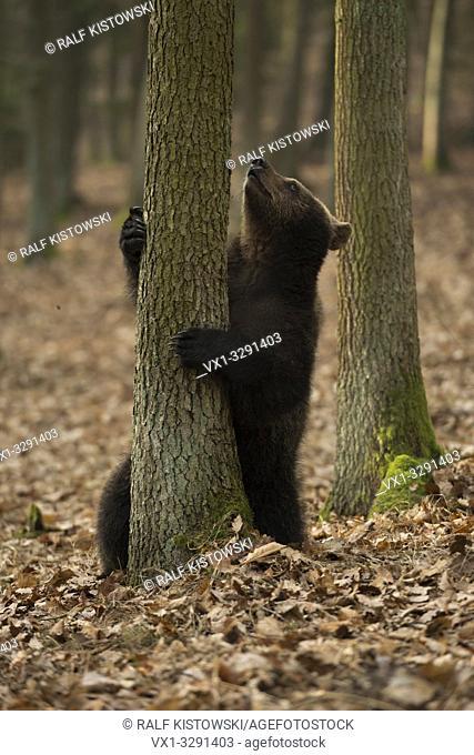 European Brown Bear / Europäischer Braunbär (Ursus arctos ) in funny situation hold a tree, look up a tree
