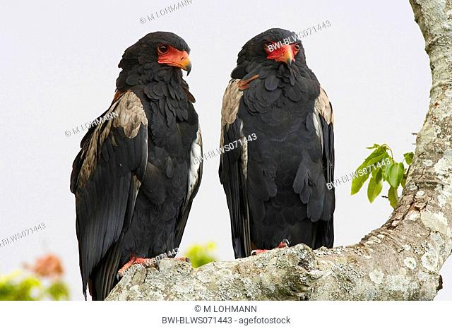 bateleur, bateleur eagle Terathopius ecaudatus, two individuals on a branch, Kenya, Masai Mara National Reserve