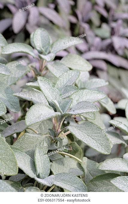 Garden sage - Salvia officinalis 'Berggarten'