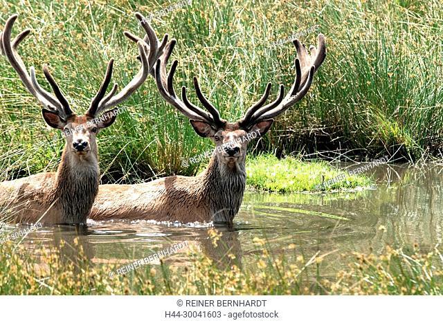 Cooling, phloem deer, Cerviden, Cervus elaphus, local game, free living person animals, antlers, antler bearer, deer, deer, deer in the water, hoofed animals
