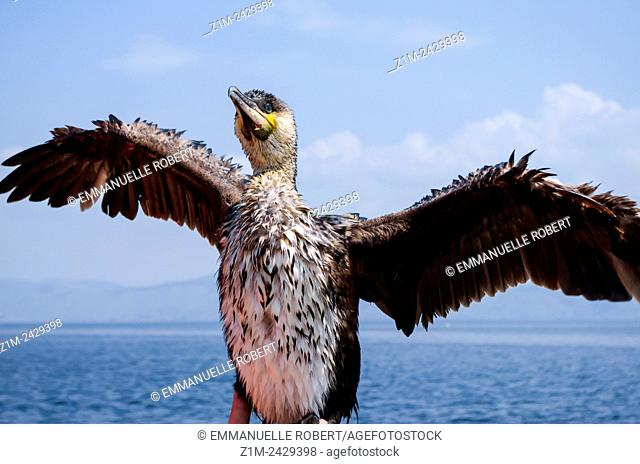 Asia, China, Yunnan, Dali, Erhai Lake, cormorant