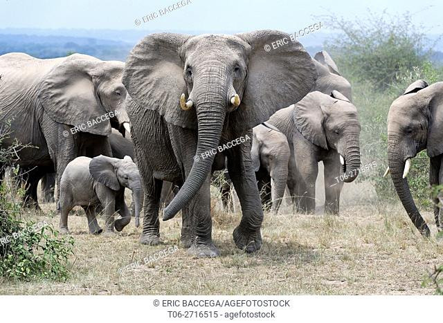 African elephant herd with adult protecting calf (Loxodonta africana) Queen Elizabeth National Park, Uganda, Africa
