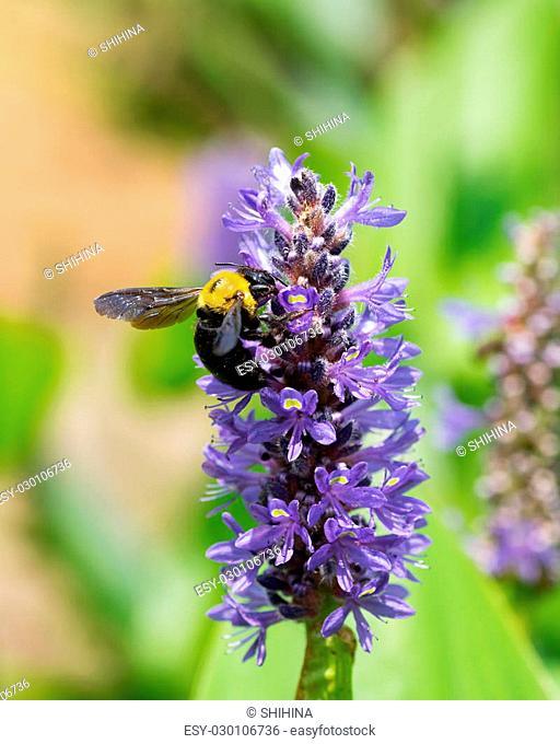 Carpenter bee on Pontederia cordata var. cordata, Pontederiaceae, eastern North America