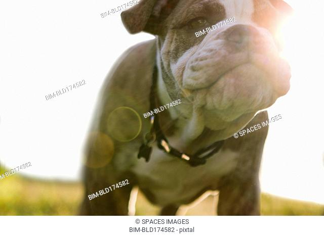 Close up of Olde English Bulldog puppy