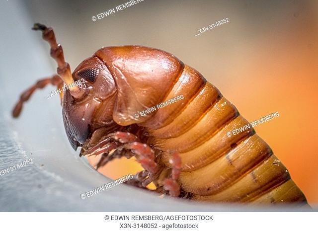 Desert millipede (Orthoporus ornatus)