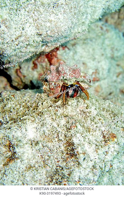 Red Hermit Crab, Diogenidae, Indian Ocean, Maldives, South Asia