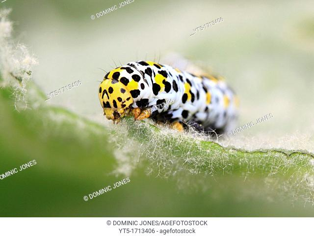 Mullein moth larvae Cucillia verbasci feeding on a Mullein plant leaf, Worcestershire, England, Europe