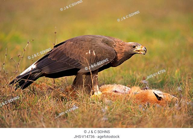 Golden Eagle, (Aquila chrysaetos), adult on ground with prey, Rimavska Sobota, Slovak Republic, Europe