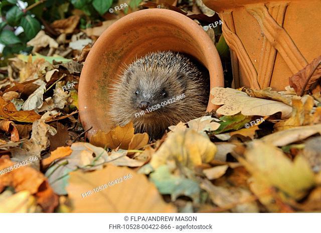 European Hedgehog (Erinaceus europaeus) immature, rescued animal in flowerpot amongst fallen leaves in garden, Staffordshire, England, October