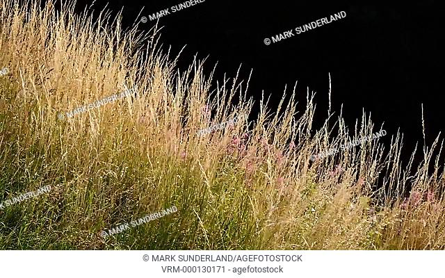 Backlit Grasses Blowing in the Wind in the Nidd Gorge at Knaresborough North Yorkshire England
