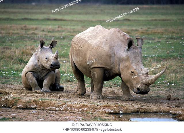 White Rhinoceros Ceratotherium simum With calf - Lake Nakuru, Kenya