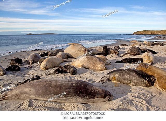 Southern Elephant Seal (Mirounga leonina), Sea Lion Island, Falkland Islands, UK