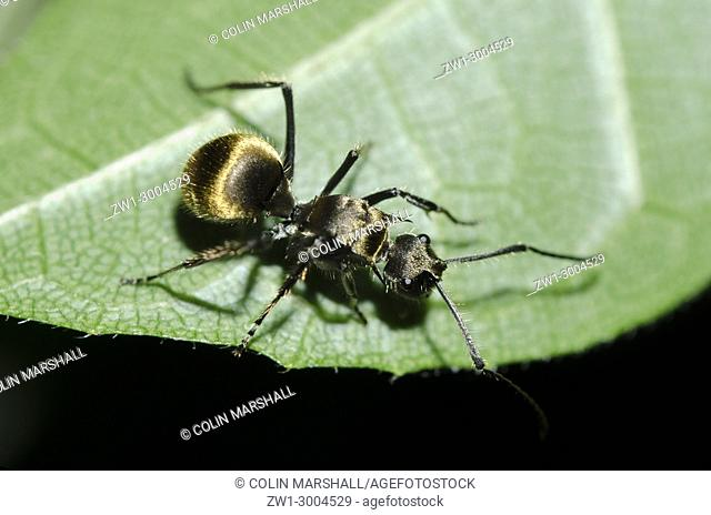 Golden-tailed Spiny Ant (Polyrhachis ammon), on leaf, Klungkung, Bali, Indonesia
