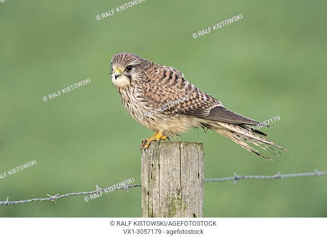 European Kestrel / Turmfalke (Falco tinnunculus), female, perched on a barbwire post above green meadows, wildlife, Germany