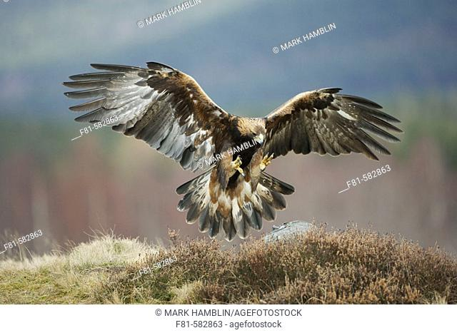 Golden Eagle (Aquila chrysaetos) adult in flight preparing to land on rock. Glenfeshie in the Cairngorms National Park (near Aviemore