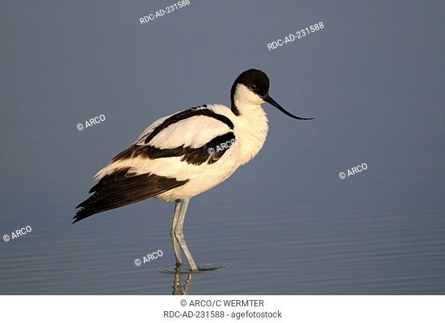 Avocet, Texel, Netherlands, Recurvirostra avosetta, side