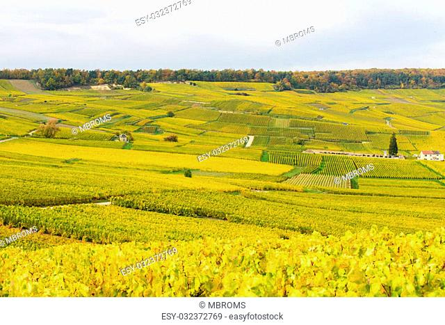 Champagne wine fields in autumn colors. Rows of plats with leaves turning from green to yellow. Trees in the background