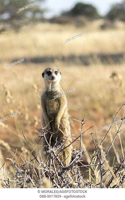 Africa, Southern Africa, South African Republic, Kalahari Desert, Meerkat or suricate (Suricata suricatta), adult, sentinel perched on a tree