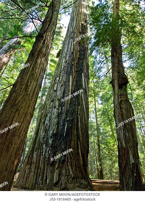 Old growth coast redwood forest, Humboldt Redwoods State Park, Humboldt County, California
