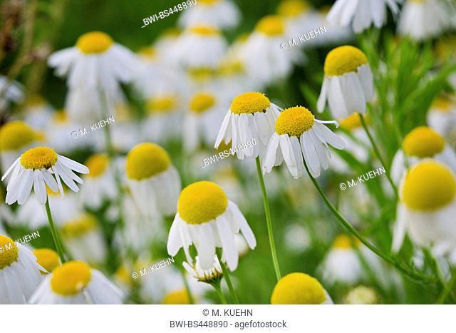 scented mayweed, german chamomile, german mayweed (Matricaria chamomilla, Matricaria recutita), blooming, Germany, Bavaria