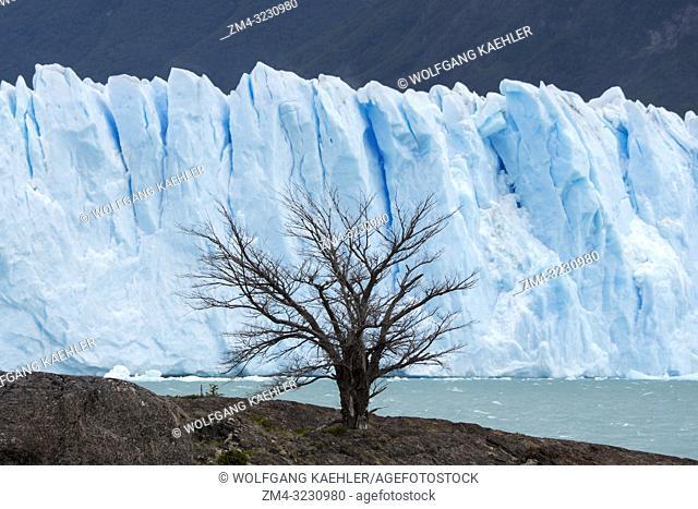 A tree in front of Perito Moreno Glacier in Los Glaciares National Park near El Calafate, Argentina