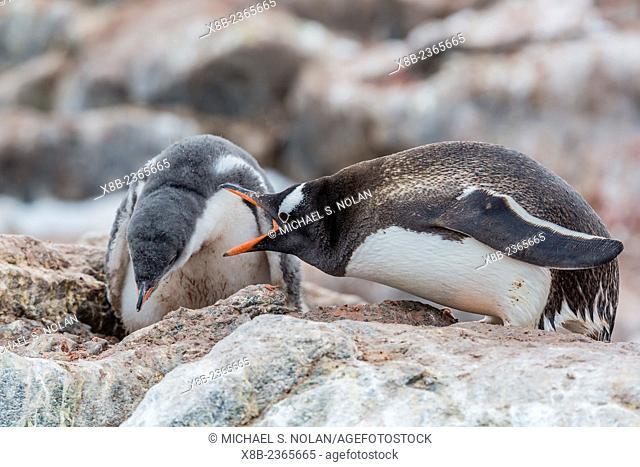 Gentoo penguin chick with aggressive adult, Pygoscelis papua, Mikkelsen Harbor, Trinity Island, Antarctica