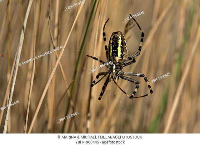 Black-and-yellow Garden Spider, Argiope bruennichi; Geesthacht; Schleswig-Holstein; Germany