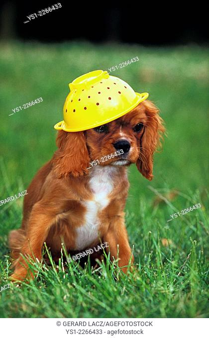 Cavalier King Charles Spaniel sitting on Grass, playing with Colander