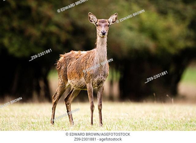 Red deer (Cervus elaphus) hind, Windsor Great Park,England, UK